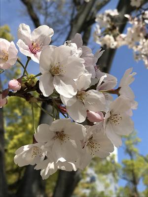 生玉公園の桜