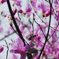 雲山峰にて桜とミツバツツジとフチ子さん