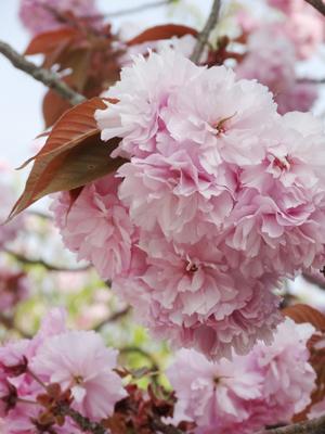 吉野 千本桜4