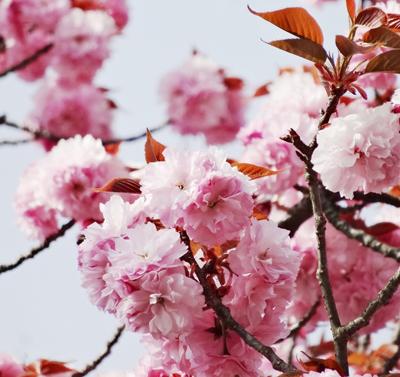 吉野 千本桜5