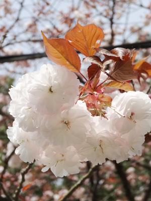 吉野 千本桜3