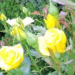 長居公園の薔薇園