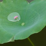 蓮の葉の滴に…