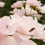 長居植物園の秋バラ