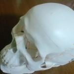 頭蓋骨模型届きました