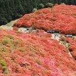 葛城山のツツジは一面ピンクで凄かった♪