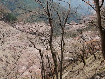 吉野 千本桜2