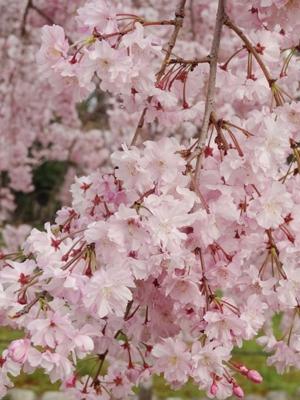 長居公園のお花たち (1)
